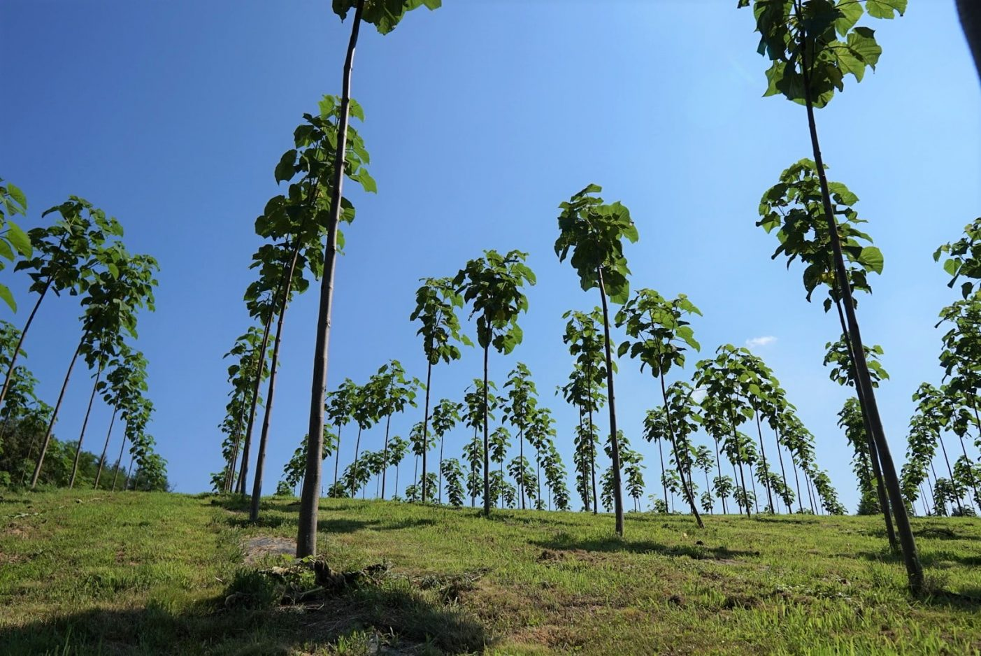 9 Gründe für den Paulownia Baum